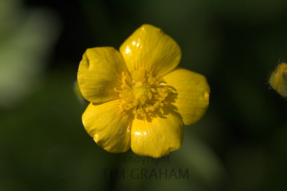 Buttercup, Oxfordshire, United Kingdom