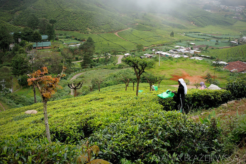 Sri Lanka, Nuwara Eliya. Early morning - woman working on the tea plantations.
