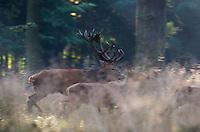 Red Deer (Cervus elaphus), Klampenborg Dyrehave, Denmark. Fenced reserve enclosure.