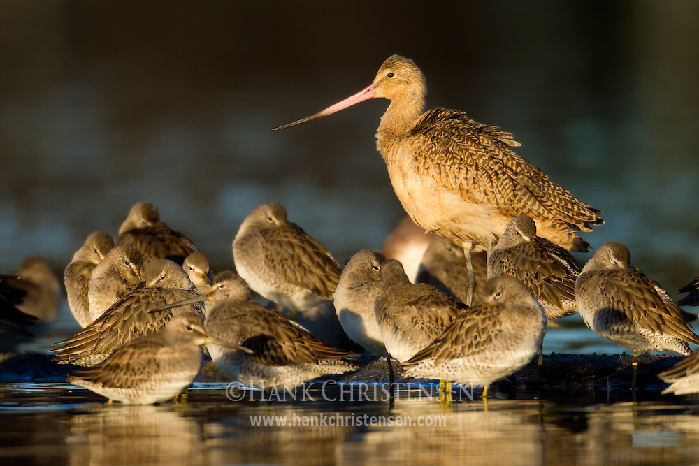 A marbled godwit is surrounded by dowitchers, stirring at the first light of the day