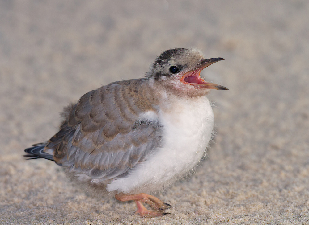 Common Tern (Sterna hirundo) chick, Nickerson Beach, Lido Beach, Long Island, Nassau County, New York