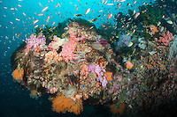 Soft Coral Covered Reef, with Anthias and Damselfish..Shot in Indonesia..
