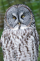 Great Grey Owl at the Sitka Raptor Recovery Center in Sitka, Alaska.