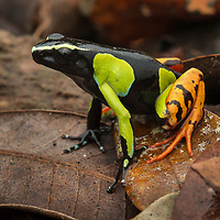 Baron's Mantella (Mantella baroni). Like little jewels of the forest floor, the wonderfully colorful Mantella frogs (family Mantellidae) comprise 16 known species, all of which are endemic to Madagascar. Although unrelated, Mantellas show remarkable convergence with Central and South America's poison dart frogs (family Dendrobatidae), and share a number of common features including skin toxicity (acquired from their diet, primarily ants), diurnal behavior, and bright warning colorations. Tomasina, Madagascar.