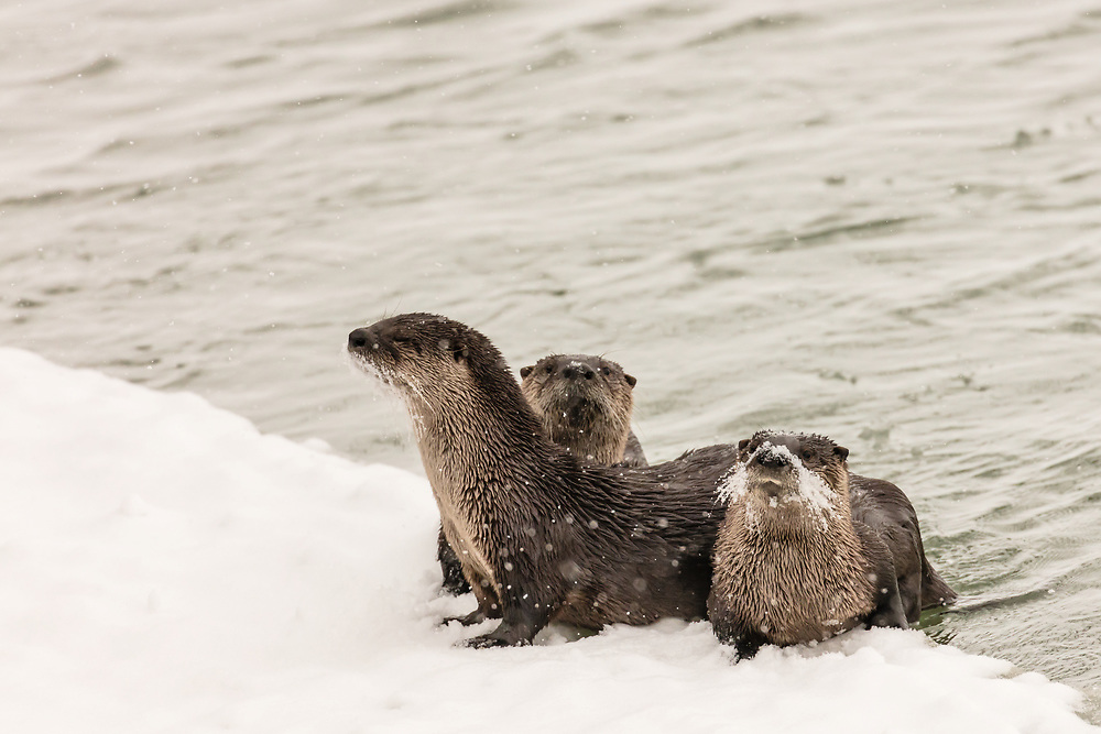 Curious River Otter (Lutra canadensis) family on ice edge along the Chilkat River in Haines in Southeast Alaska. Winter. Morning.