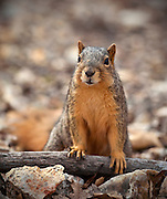 A close up shot of a Eastern Fox Squirrel (Sciurus niger) posing for the camera.