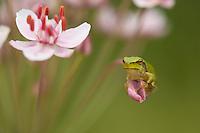 Tree frog (Hyla arborea) on flowering rush (Butomus umbellatus) Muselievo, Laubfrosch auf Schwanenblume, Nikopol, Bulgaria.