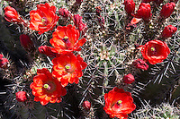 Claret Cup Cactus, (Echinocereus coccineus), at Big Bend Ranch State Park, Texas
