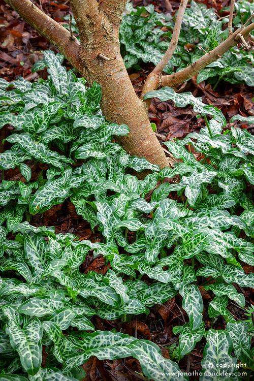 The foliage of Arum italicum 'Pictum' syn  A. italicum subsp. italicum 'Marmoratum' growing in the shade around the base of a tree