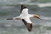 Australasian Gannet, Muriwai, New Zealand
