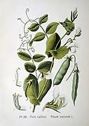Culinary Pea (Pisum sativum): From A Masclef 'Atlas des Plantes de France', Paris, 1893.