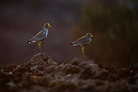 African Wattled Lapwings at dusk, Pilanesberg National Park, North West, South Africa
