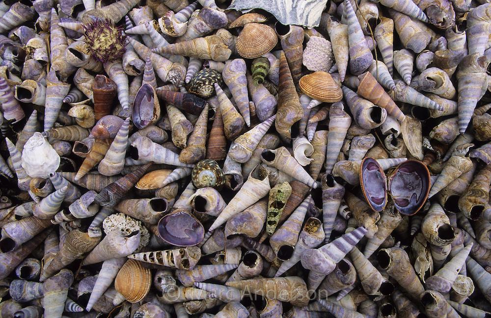 Seashells piled on an Aboriginal midden, Tasmania, Australia