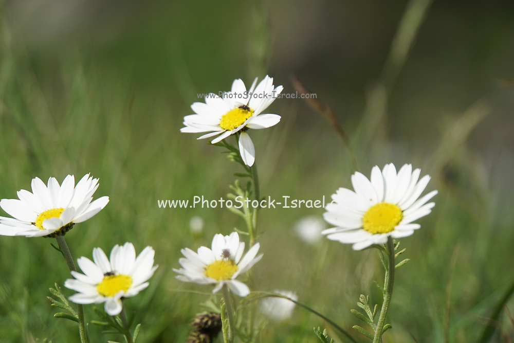 White common Daisy (Bellis perennis), Photographed in Romania