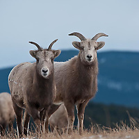 bighorn ewe wild rocky mountain big horn sheep