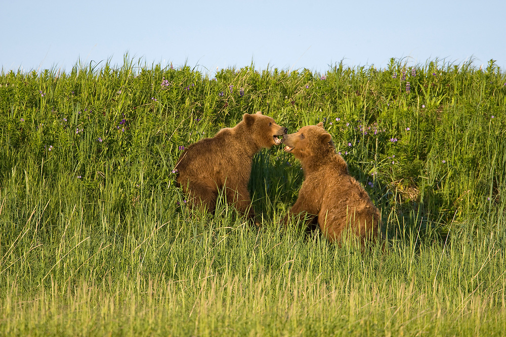 USA, Alaska, Katmai National Park, Brown Bears (Ursus arctos) playing in meadow along Hallo Bay