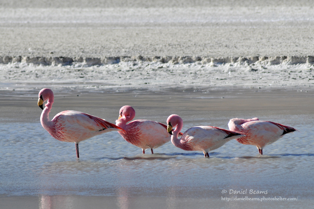 Flamingos on a lake in southern Bolivia