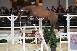 024, No Doubt van het Vlierhof<br /> BWP Hengsten keuring Koningshooikt 2015<br /> © Hippo Foto - Dirk Caremans<br /> 21/01/16