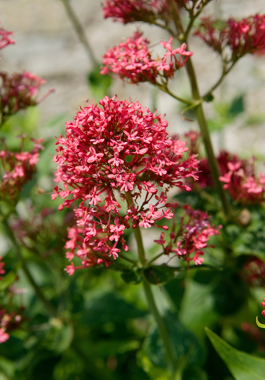 Red Valerian, Centranthus ruber. Garden plant escapee now widely naturalised in USA, UK and Ireland etc.