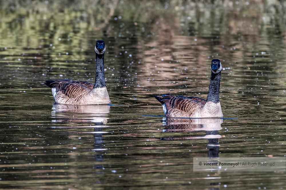 Canada Goose-Bernache du Canada (Branta canadensis), Auvergne, France.