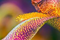 A macro abstraction of an Iris petal