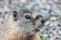 Yellow-bellied Marmot (Manota flaviventris) thrives on the alpine tundra.  Snowy Range Mountains, Wyoming,