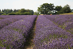 © Licensed to London News Pictures. 23/07/2014. Summerdown Farm, Hampshire, UK. Lavender flowers in bloom on Summerdown farm near Malshanger in Hampshire. The lavender will be harvested and distilled into lavender oil. The farm also grows peppermint, which will soon be harvested and distilled to make peppermint tea and Peppermint oil. Photo credit : Rob Arnold/LNP