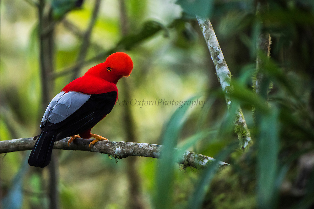 Andean Cock-of-the-rock (Rupicola peruviana sanguinolenta) <br /> Mindo<br /> Cloud Forest<br /> West slope of Andes<br /> ECUADOR.  South America<br /> HABITAT & RANGE: Cloud forest, Western Andes of Ecuador & Colombia