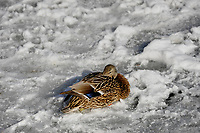Mallard (anas platyrhynchos) female on the ice, Lake Ontario, Toronto , Ontario, Canada