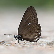 Papilio mahadeva, the Burmese raven, is a species of swallowtail butterfly from the genus Papilio that is found in Thailand, Burma.