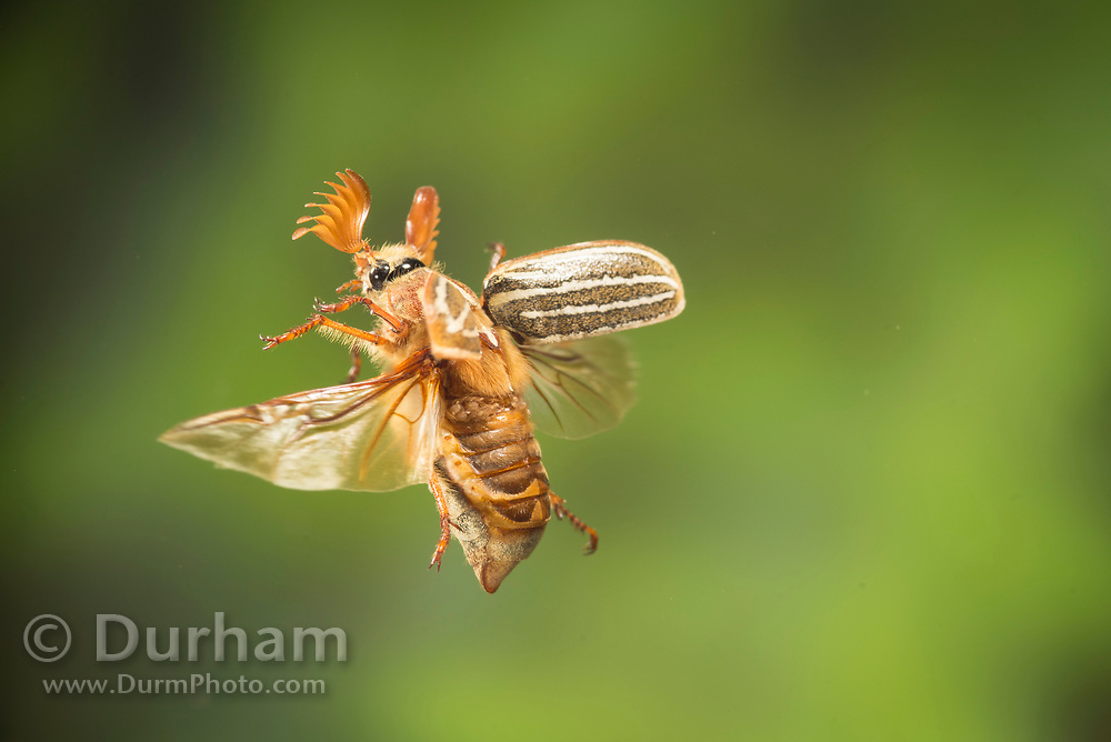Ten-lined June beetle (Polyphylla decemlineata) photographed in flight in Central Oregon. © Michael Durham