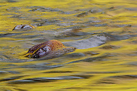 Autum reflections; Virgin River, Zion National Park