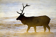 Bull elk frequent the Madison River Valley during the autumn breeding season to collect a harem and sire next year's calves. At the conclusion of the rut, bulls return to their bachelor herds for the harsh Yellowstone winter.