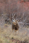 Trophy mule deer buck during autumn rut