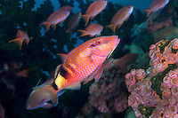 Goatfish and Anthias<br /> <br /> Shot in Indonesia