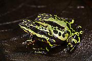 Harlequin frog (Atelopus sp. spumarius complex)<br /> CAPTIVE<br /> Amazon region of SE<br /> ECUADOR. South America<br /> RANGE: Ecuador<br /> Amazon Basin<br /> Critically endangered<br /> New undescribed species