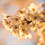 Close-up shot of the flowers of the famous cherry blossoms in Washington DC.