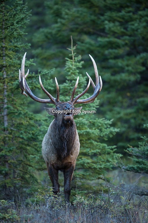 mature bull elk bugling from sparce fir forest close up