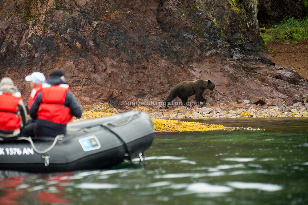 Orange life jacket clad tourists in an inflatable boat observe a brown bear (Ursus arctos) walking on a rocky shore near Pavlof harbor in south east Alaska.