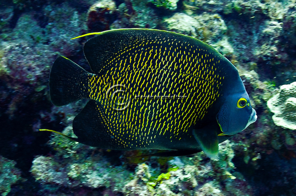 French Angelfish on reef, Pomacanthus paru, Grand Cayman