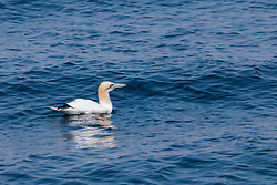 A Northern Gannet rests on the ocean's surface between dives.