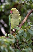 Alexandrine Parakeet, Psittacula eupatria. Yala National Park, Sri Lanka