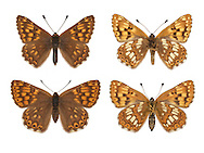 Duke of Burgundy - Hamearis lucina - male (top row) - female (bottom row). Wingspan 25mm. A tiny butterfly, unrelated to true fritillary butterflies. Flight is rapid and buzzing. Adult has upperwings that are beautifully patterned with orange and brown; underwings, particularly hindwings, have striking white spots. Flies May–June. Larva is brown and is nocturnal; feeds mainly on Cowslip but also Primrose. Local and declining, confined to chalk downs in southern England where larval foodplants grow.