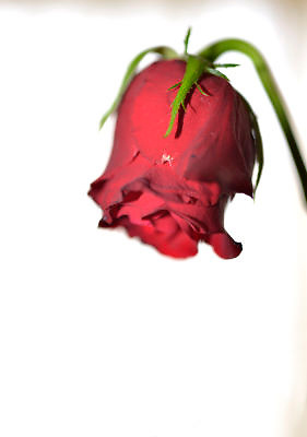 Nederland, Ubbergen, 14-2-2013Een uitgedroogde, verwelkte, rode roos.Foto: Flip Franssen