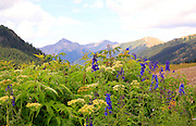 Larkspur & Cow Parsnip Bloom in Porphyry Basin San Juan Mountains Colorado