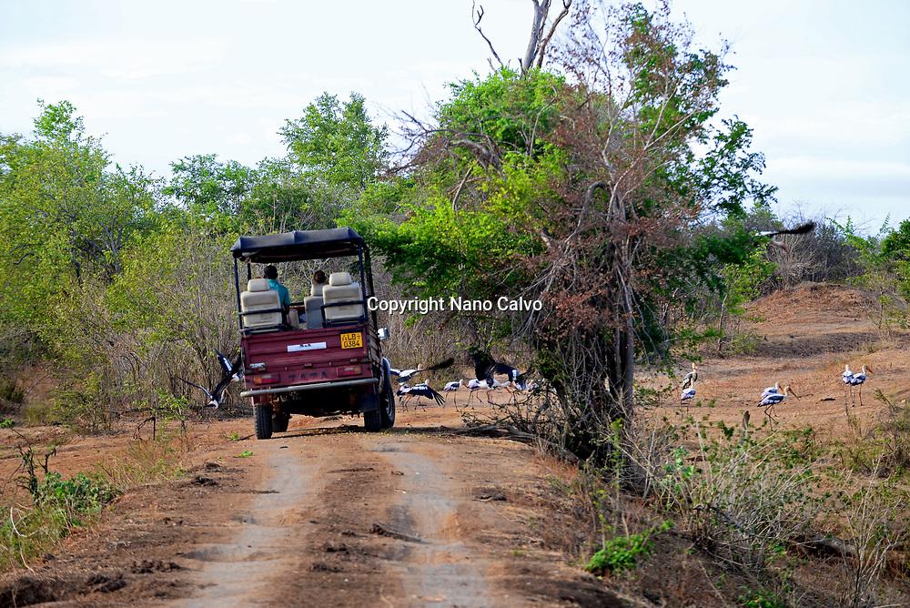 Safari jeep and painted storks (Mycteria leucocephala) in Udawalawe National Park, on the boundary of Sabaragamuwa and Uva Provinces, in Sri Lanka.