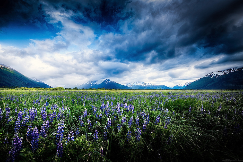 A field of Lupine sways in the wind, the mountains of the Chugach range in the distance. Clouds break for a fleeting moment and the northern sun breaks through, showing us the way home.