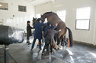 Big Star presenting for collection - Stallion AI Services - Twemlows Hall, Whitchurch, Shropshire, United Kingdom - 04 March 2015
