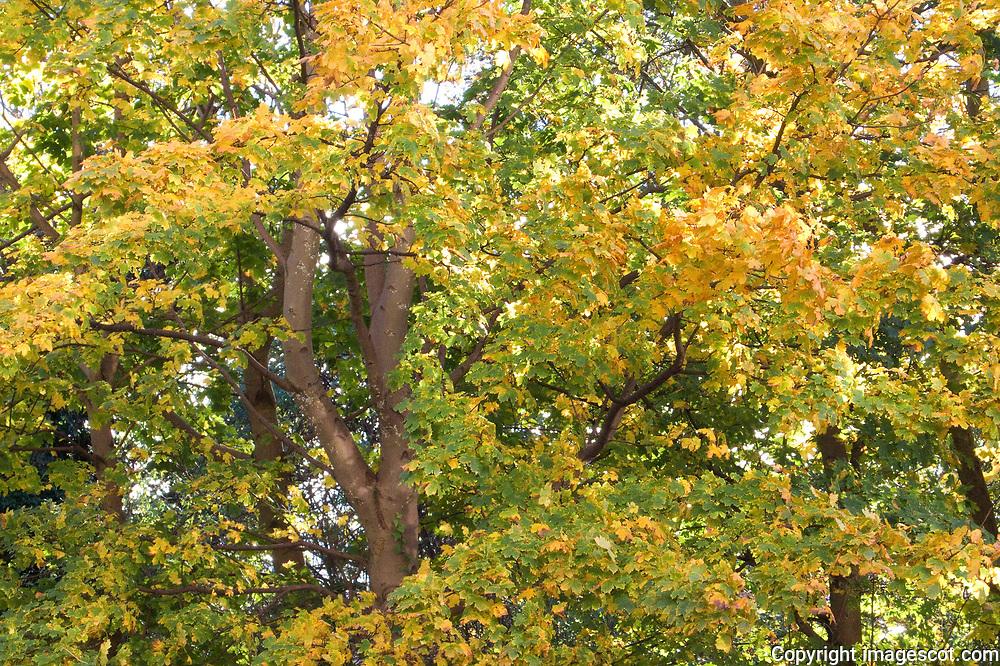 Autumn colours, maple tree