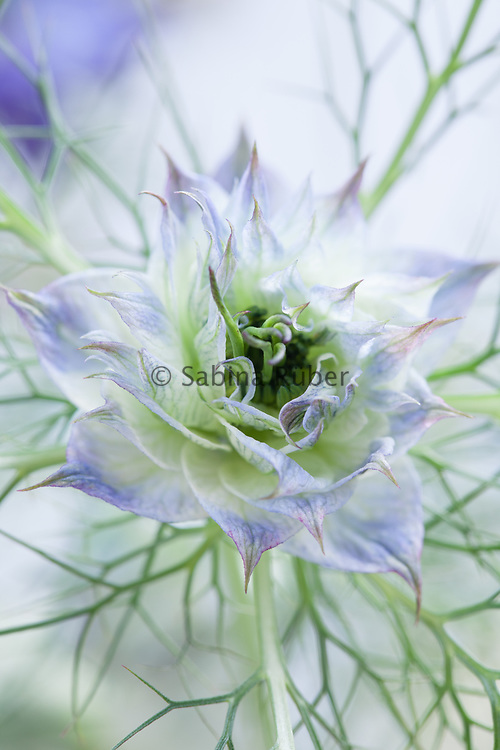 Nigella damascena 'Miss Jekyll' - love-in-a-mist